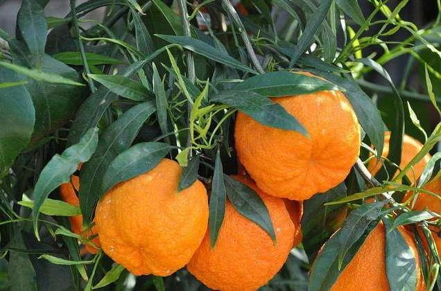 pomeranskij-apelsin