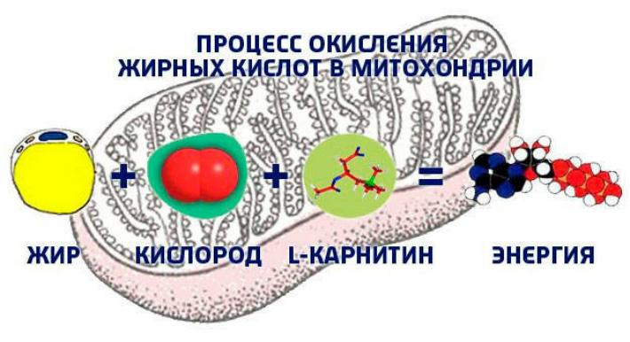 miitohondriya